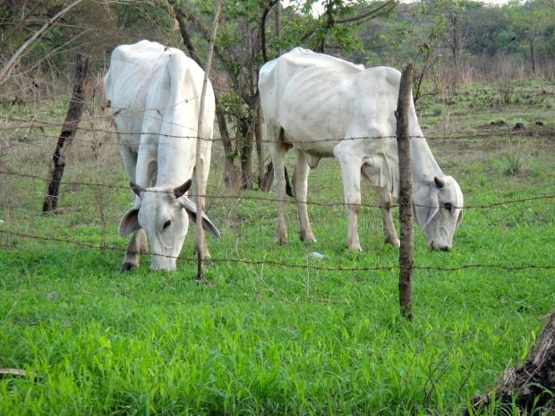 Costa Rican livestock grazing