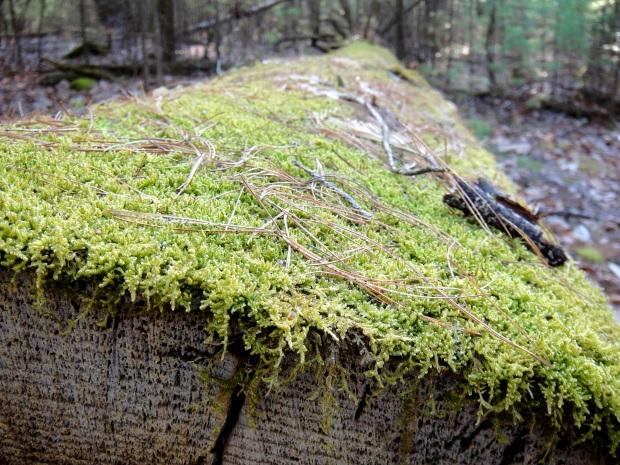 Moss on tree trunks