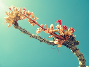 flowering thorn tree