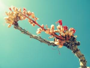 flowering thorn tree